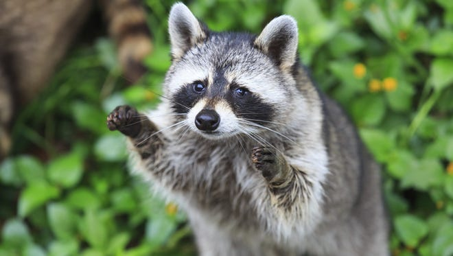 A Portland woman has filed a lawsuit after being attacked by a raccoon at her former apartment complex.