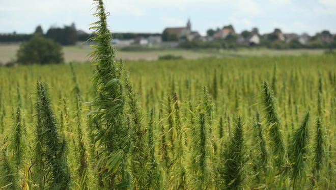 A field of legal cannabis plants selected for their low content of THC grows on August 25, 2014 near Meaux, France.