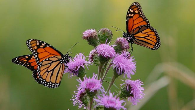 Two Monarch butterflies feed on a Blazing Star plant at a USDA Forest Service site in Wilmington, Illinois.
