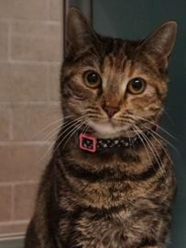 Missy is a 1-year-old domestic shorthair with a stunning