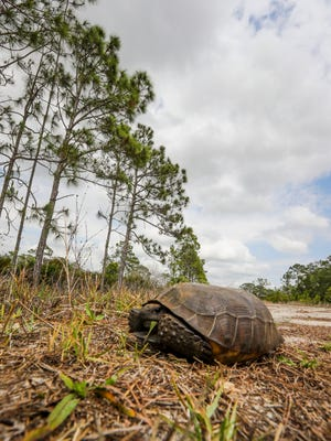 A gopher tortoise snacks along one of the roads inside the closed land that could be part of the 20/20 land sold to Lee County. Making good on promises made at a series of community meetings, the developer of Babcock Ranch has offered to sell 2,250 coveted acres to Lee County's 20/20 program. The land now is used for ranching and other farming. Wildlife can be seen foraging around the land.
