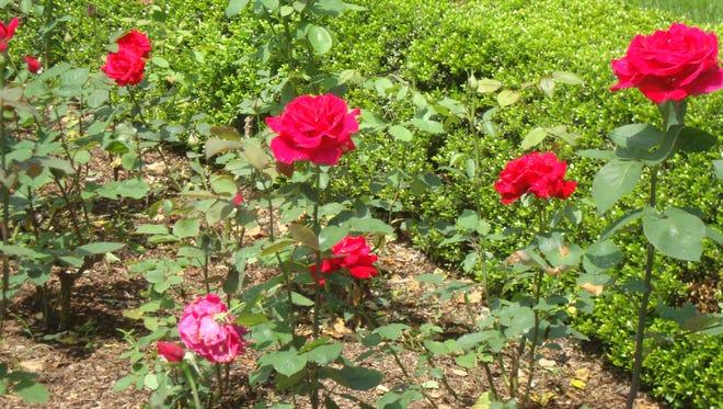 The Rose Garden in bloom at Kykuit, The Rockefeller Estate in Pocantico Hills