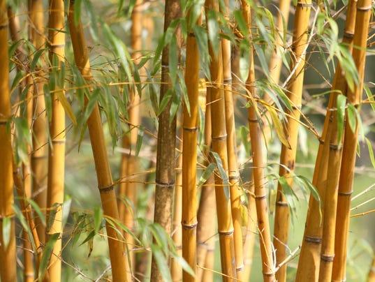 636402051449033252-bamboo.013.jpg