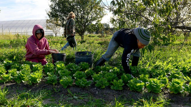 Azeezah Ford, right, and Alyssa Hehman weed a bed of romaine lettuce Friday at the MSU Student Organic Farm. The two are part of the Organic Farmer Training Program, which was recently named one of the 30 best student-run programs in the nation.
