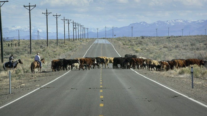 Cattle cross the road in Paradise Valley in 2002 on their way to their grazing areas on public land in the nearby mountains.