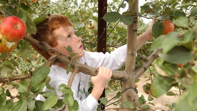 Crane's Orchard will begin apple season with McIntosh, Gala and Golden Supreme.