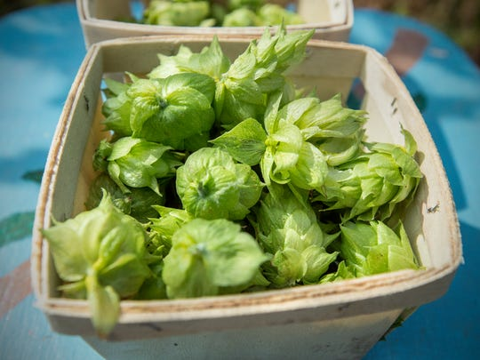 Chinook hops, used in IPAs to add more of a pine than a citrus taste, are collected in a basket near the vines from which they're harvested. Mudron and Hines sell the hops at the Ocean Pines Farmers Market and by appointment at their farm in Bishopville.