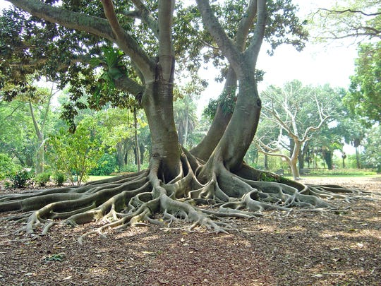 Exposed roots will protect themselves by growing an outer layer of bark.