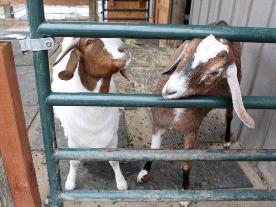 Marcia, left, a blind goat and her pen-mate Maurice at the Farm Sanctuary's Northern California Shelter in Orland.