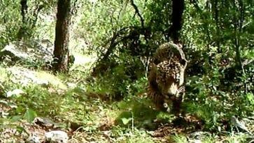 Wild jaguar in Arizona.