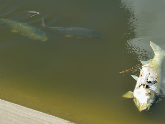 A large number of fish found dead in the coulee that