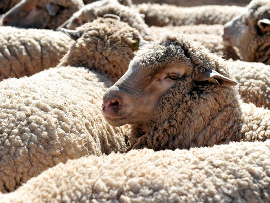 636381412416801195-Sheep-S-T.JPG
