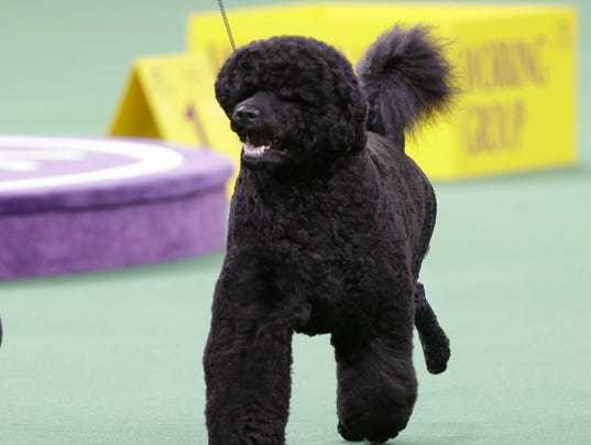 Portuguese Water Dog Is Pooch To Watch At Westminster