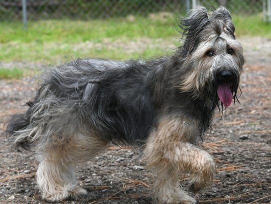 A Briard named Wren poses for the camera while training