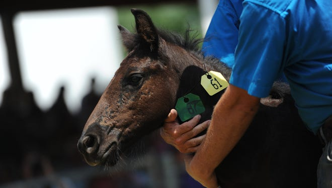 The Chincoteague Volunteer Fire Company announced on its Facebook page that the 61st pony sold at the 90th annual Chincoteague Pony Auction died recently of Meckel's Diverticulum.