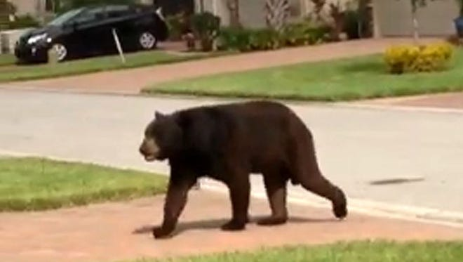 Emily Carter/Special to news-press.com Observers claim the bear could be 400 pounds. People are urged to stay away from it. Bella Terra Bear