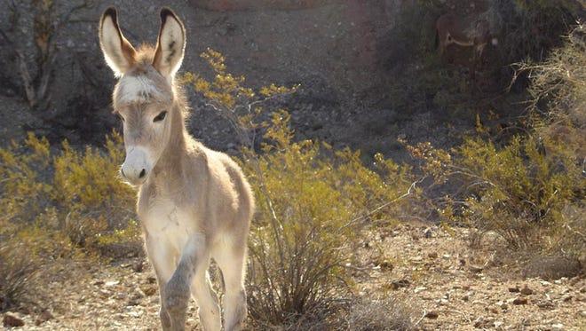 A baby burro explores the desert near Alamo Lake State Park.