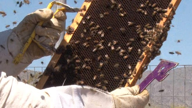 Tim Moore, owner of Honey Hive Farms, checks hives for any signs of trouble at a Litchfield Park farm.