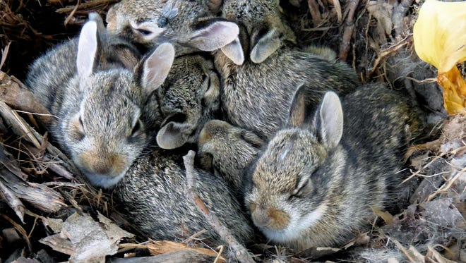 Rabbits can be a frustrating problem for gardeners.
