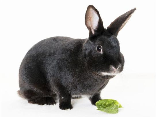 Charla, female American rabbit. No. 99753.