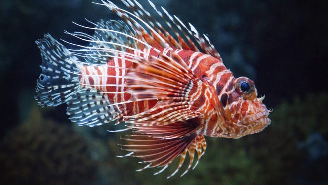 FGCU researchers will soon raise lionfish in captivity in order to study the invasive species and its impact on coastal ecology.
