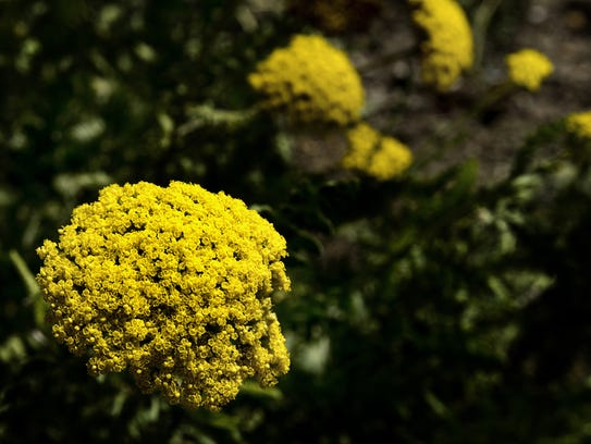 Yellow yarrow attracts bees, butterflies and other