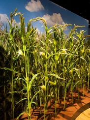 More corn is grown around the globe than any other