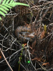 A young water moccasin sits coiled at a safe distance