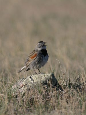 McCown's longspur is a nondescript, ground-nesting bird, that stakes a claim each year to a piece of the prairie.