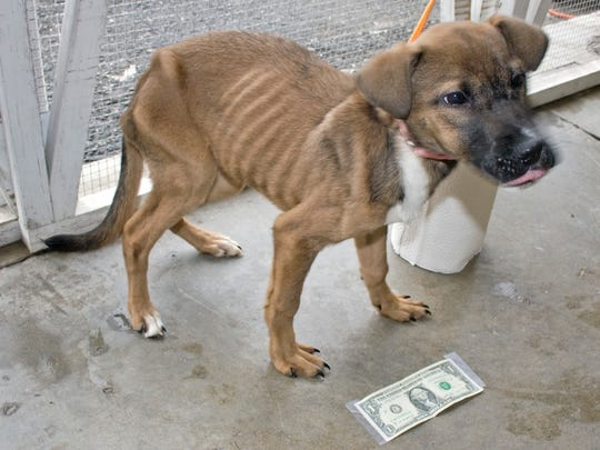 This 4-month-old shepherd mix was severely malnourished when she was seized in February 2014 from a Lake Street home in Elmira. The dollar bill and roll of paper towels are to provide perspective on the dog's size.