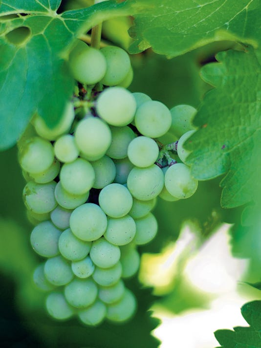 Grapes grow in the vineyard in front of St. Clair Winery in Mesilla on Monday.