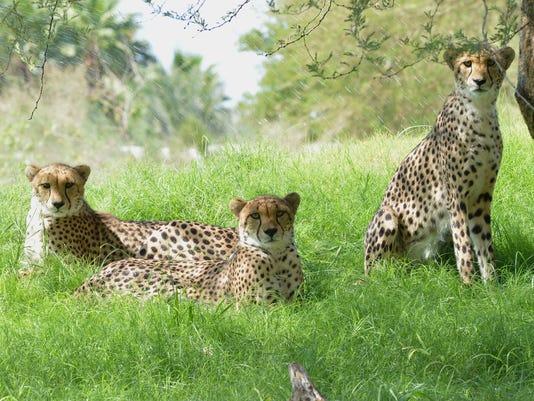 636106050476539127-The-Living-Desert-Cheetah.jpg