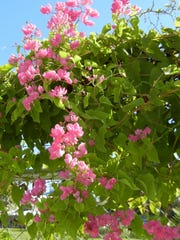 Coral vines bloom in the summer and honeybees thrive on the nectar.