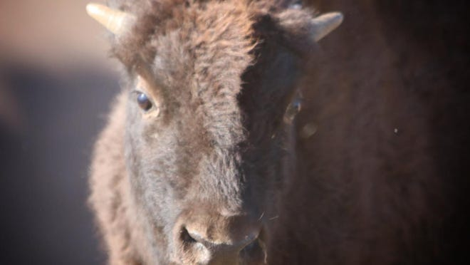 About 50 bison were auctioned Wednesday from Maxwell Wildlife Refuge.