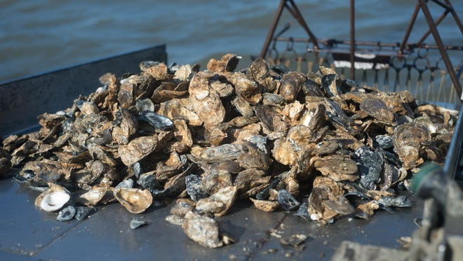 A pile of oysters harvested from the Nanticoke River.