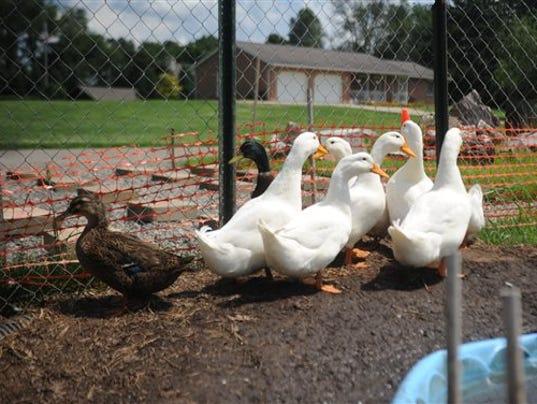 Veteran~s Ducks_Whon (1).jpg