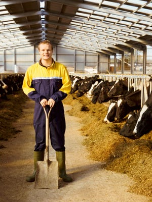 Portrait of a Farmer in Overalls Standing in a Dairy, Cows Feeding on Grain