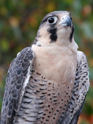 Peregrine falcon populations have been restored since DDT was banned.