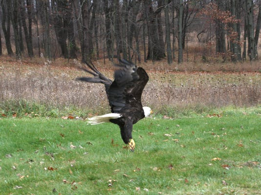 Eagle release_01.jpg