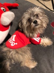 Brownie, a 7-month-old Shih Tzu, was last seen on Highland