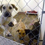 Dogs wait for adoption at Animal House Monday March 4, 2013. Fall Harvest Brewfest will benefit the no-kill shelter.