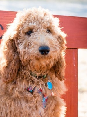 Copper, an 11-month-old goldendoodle who was beloved at Chrysalis Charter School and served as a therapy dog and classroom companion, died suddenly last week.