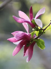 A Magnolia flower on a tree in the gardens at Rocky Hills.