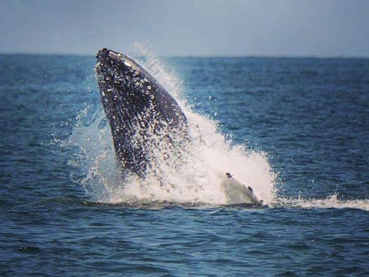 Have You Seen Humpback Whales On The Shore Lately