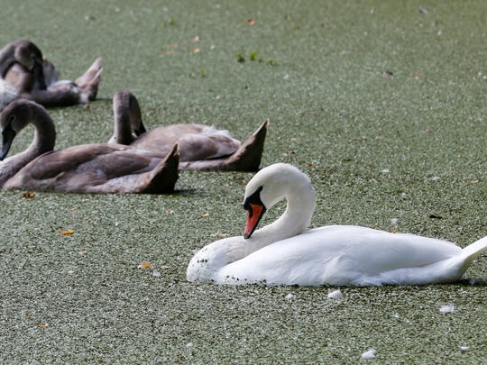 In this Sept. 14, 2017 photo, mute swans swim in the Lullwater, covered by duckweed, in Brooklyn's Prospect Park, in New York. The graceful mute swan is targeted for destruction by wildlife managers in New York and other states. Biologists cite the non-native species' damage to aquatic habitat and native waterfowl. But animal welfare groups and people who love to watch the snow-white birds glide across local waters are fighting plans to reduce the population.