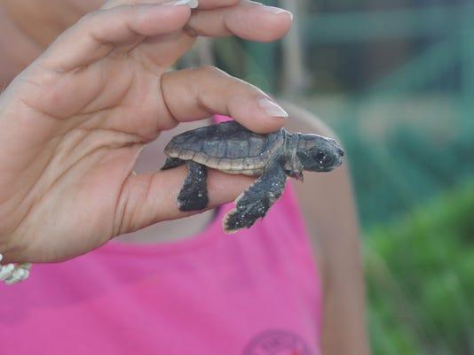 636354798534605819-8-Turtles-First-Hatch-18-.JPG