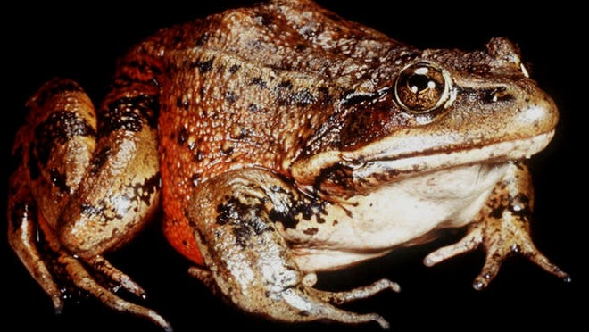 The California red-legged frog is believed to be the inspiration for a famous Gold Rush-era tale by Mark Twain.