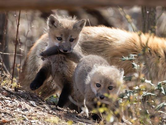 636615659034022552-Bombay-Hook-NWR-baby-fox-kits-USFWS-Photo-Jennifer-Cross.jpg