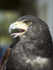 The Harris' Hawk could find its habitat widened by