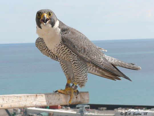 Greg Septon banded 41 chicks produced over 12 years by this female peregrine falcon named Atlanta, shown in this 2008 image at a nest box at the We Energies plant in Oak Creek.